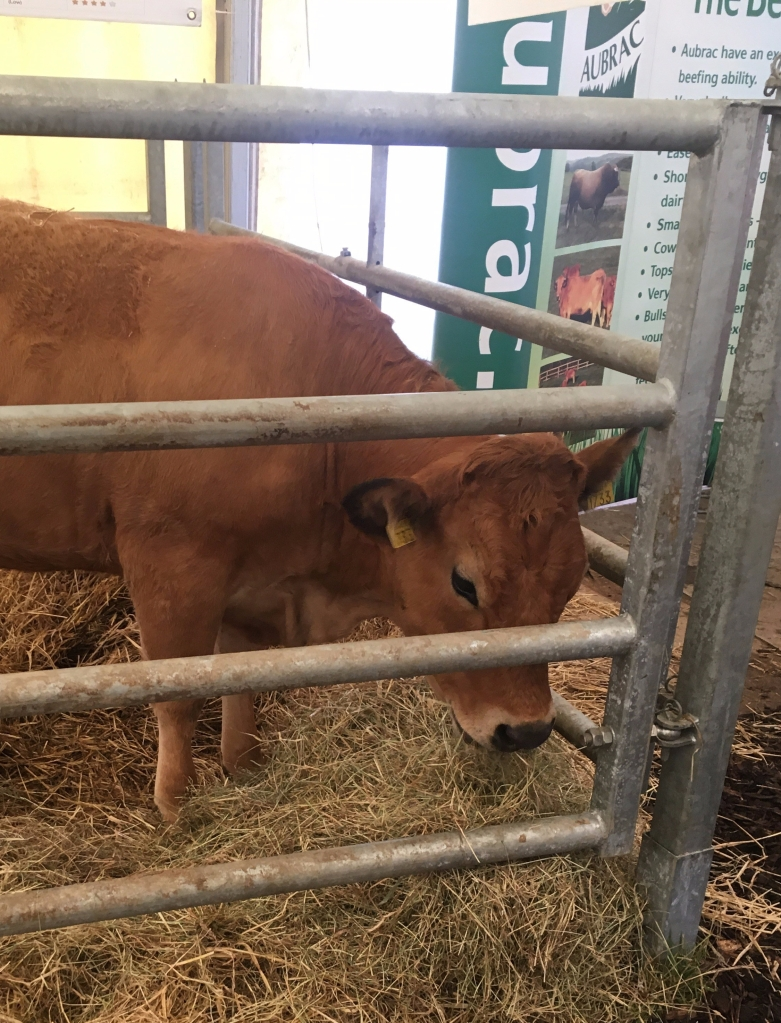 Image of cow in pen